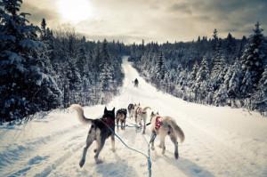 winter #dogs #wolves #dogsled #dog sled