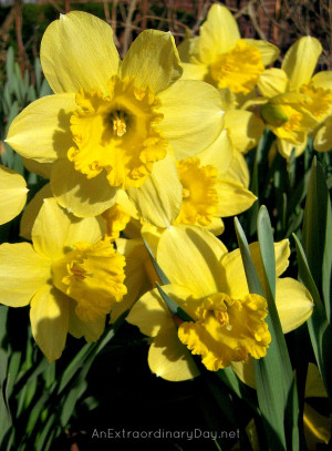 Daffodils Quote The Week at a Glance 4 13