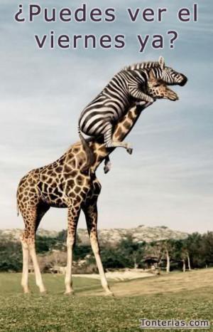 girafa-cebra-puedes-ver-viernes-ya.jpg