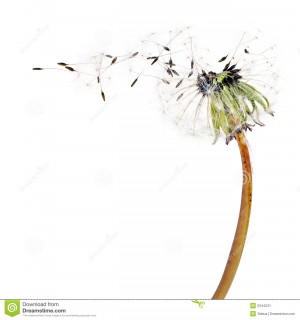 Flying dandelion seeds isolated over white.
