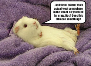 ... if there are funny guinea pig memes on the net? And yes, there are