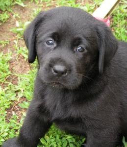 breed labrador retriever lives chicago illinois from akc breeder north ...