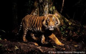 Endangered Species Spotlight: The Sumatran Tiger