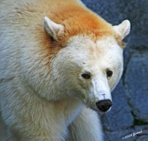 Tags animals bears albino assiniboinepark winnipeg canada
