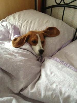 Funny Beagle Pics
