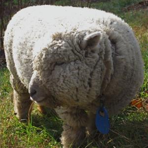 baby doll sheep baby black sheep baby sheep baby sheep baby lamb sheep ...