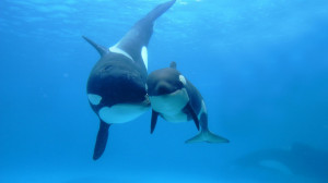Orca Killer Whale Underwater