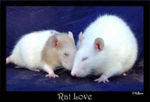 rat love rat love rat love rat love