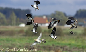 lapwing_and_golden_Plovers.jpg