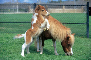 Miniature horse picture submitted by Addison J. Submit your horse ...