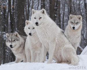 wolf pack is lead by the alpha male