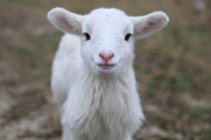 Search Results for: Baby Sheep