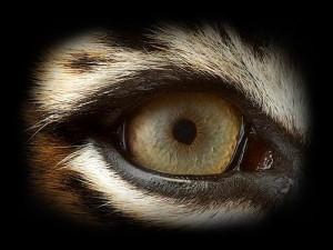 eye-of-the-tiger.jpg