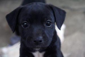 black, cute, puppy