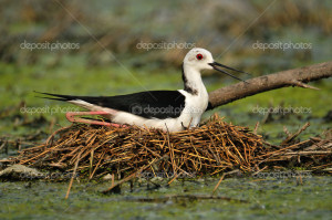 ... -the-birds-nest-water-nest-eggs-birds-black-and-white-bird.jpg