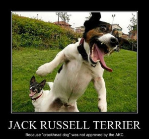 Jack Russell Terrier, because