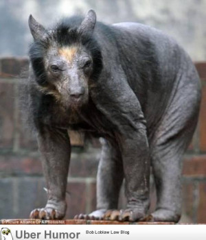 Most animals get funnier when you shave them. Bears just get ...