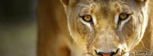 Beautiful Female Lion facebook cover