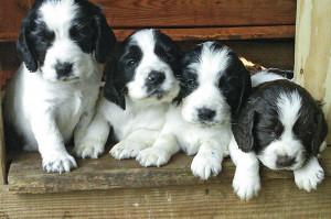 Gun Dog Puppies