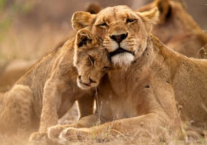 Lion And Lioness Love Quotes Pictures of lions