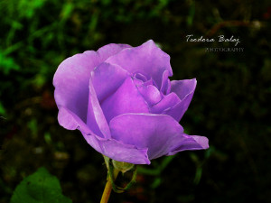 Purple Rose by teodorabalaj