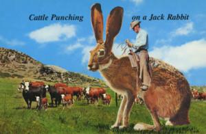 Big Jack Rabbits Big jack rabbits out west!