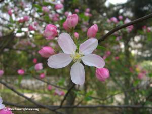 apple-blossom-flower.jpg