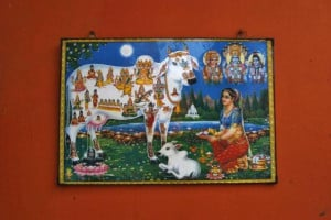 of Indian holy cow Kamdhenu is pictured outside a goushala or a cow ...