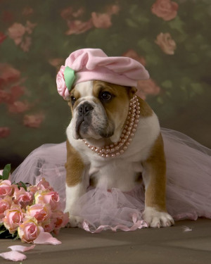 English Bulldog puppy all dressed up!: Dogs Dresses, Dogs Beds, Dogs ...