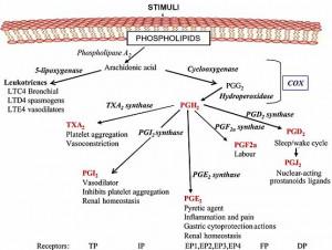 prostaglandin arachidonic acid cascade