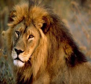 African Lion Endangered Species