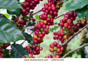 Thank The Coffee Bean Tree