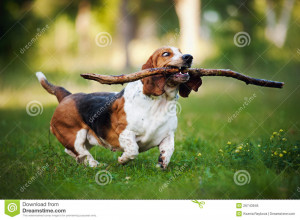 Too Funny Basset Hound Running