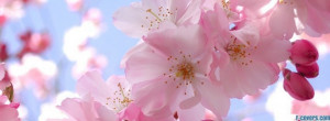flowers cherry blossoms 3 facebook cover