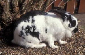 Rabbit Pets Black White Animal