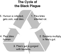 Life cycle of the Black Plague, as the bubonic plague is sometimes ...