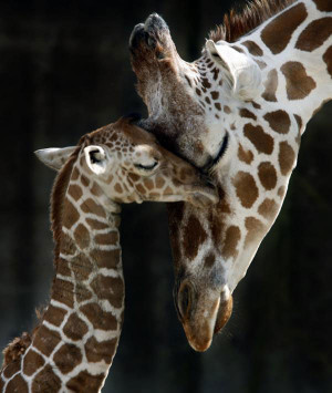 ACAD Mother's Day Post 5: Giraffe Baby with Mother