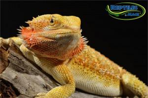 Male Citrus Bearded Dragon