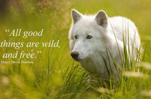 nature-quotes-sayings-white-wolf.jpg