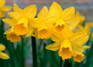 Picture : Daffodils