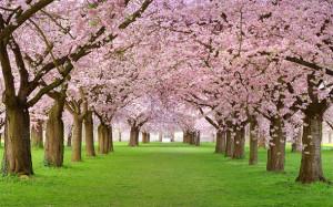 Cherry Blossom Festivals Greet Spring
