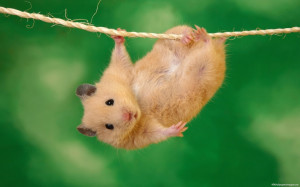 Funny Rat, Pictures, Photos, HD Wallpapers