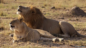 Lioness And Lion Quotes Lion and lioness