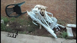 Funny Labrador Tangled In Blinds. Fun Lab Video!