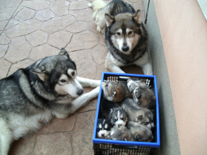 Cute Husky Family & Their Puppy Crate !