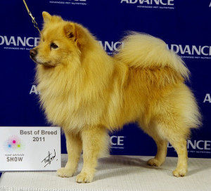 German Spitz Mittel Picture