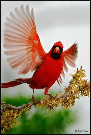 Northern Cardinal, Roma, TX