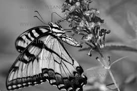 ... بالأبيض والأسود Black and White Photography - butterfly