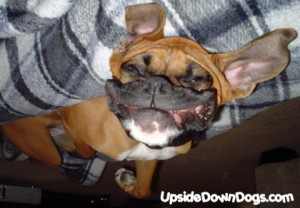 ... funny boxer dogs funny boxer dog pictures funny boxer dog boxer pups