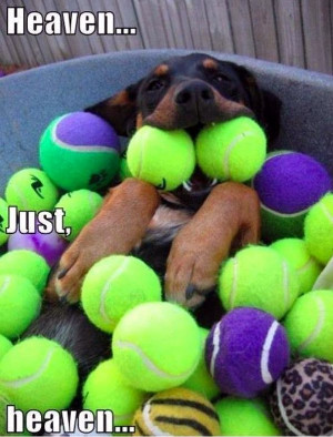 ... in dogs tagged ball dogs happy rottweiler tennis balls leave a reply